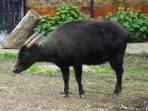 Anoa, Kisah dan Habitatnya yang Terancam Punah