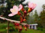 Bunga Sakura Karanganyar