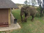 Seekor Gajah memungut sampah