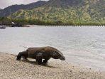 Biawak Komodo, Kadal Raksasa dan Ragam Fakta Menarik Tentangnya