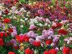 Wow, Penjualan Bunga di Turki Tembus Angka 6,6 Triliun Jelang Valentine