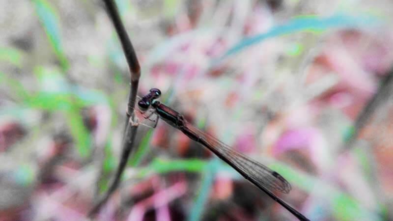 Pendekar Ulung Pembasmi Nyamuk dan Indikator Pencemaran