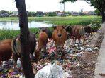 Sapi menikmati sampah di Jl. Mangka Dg Bombong, Gowa