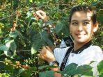 Warga Uluway, Tana Toraja Wajib Tanam Minimal 100 Bibit Kopi Jika Ingin Menikah
