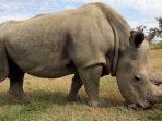 Sudan, badak putih utara jantan terakhir di dunia