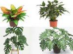 11 Jenis Philodendron Paling Populer di Tanah Air, Klik Ini!
