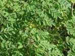 Kelor, Pohon Ajaib dan 4 Fakta Menarik yang Akan Membuat Anda Jatuh Hati Padanya