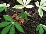Philodendron Variegated yang Lagi Booming dan Kontes Pertamanya di Indonesia