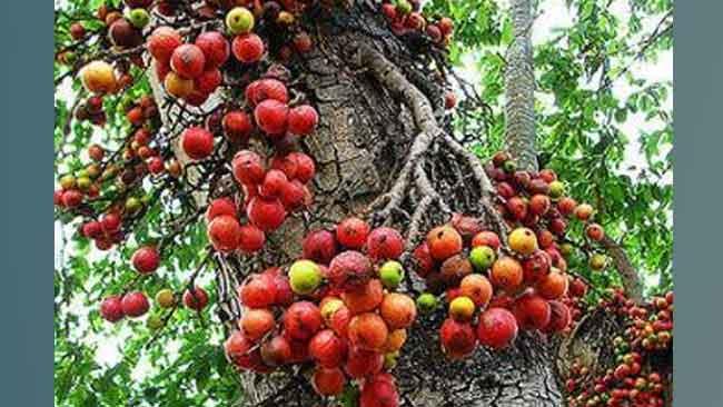 Mengenal Pohon Ficus dan Manfaat Istimewa di Baliknya