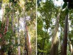Dayak Iban, Penjaga Hutan Terdepan Di Kapuas Hulu Kalimantan Barat