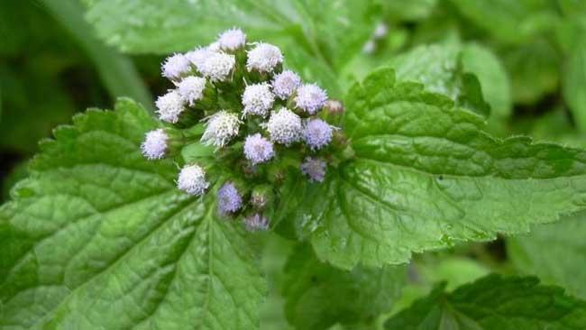 Jangan Dicabut Dulu 9 Rumput Liar Ini Berkhasiat Obat Hingga Imunitas Klik Hijau