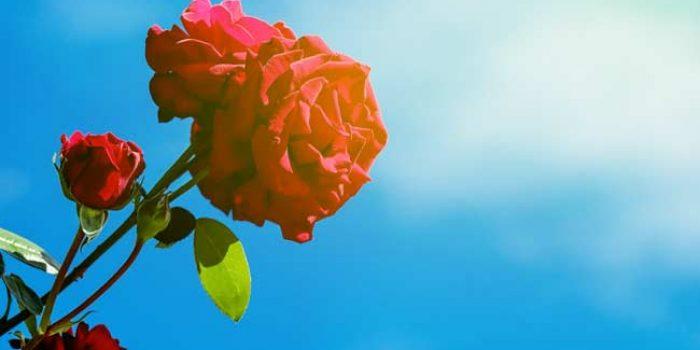 Aroma 6 Bunga Ini Mampu Hilangkan Stres, Benarkah?