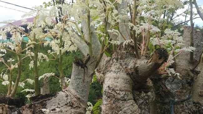 Cerita Sebatang Pohon Kelor di Muna yang Berdaun Putih Susu
