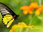 Selain Fenomena Metamorfosanya, 6 Hal Ini Menarik Diketahui Seputar Kupu-Kupu
