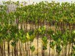 1.000 Mangrove di Desa Pao, Upaya Warga Cegah Abrasi Sejak Dini