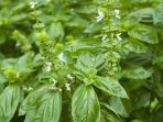 7 Tanaman Herbal yang Identik dengan Persalinan dan Ibu Hamil, Ada Kemangi!