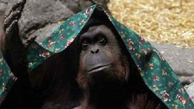 Kenalkan Sandra, Orangutan yang Dapat HAM Layaknya Manusia
