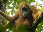 Direktur Konservasi Kera Besar Harapkan Ini untuk Orangutan Indonesia