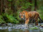 Harimau Sumatera Serang Seorang Pekerja di Riau Hingga Tewas