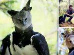 Harpy, Burung Elang Terbesar di Dunia yang Nyaris Punah