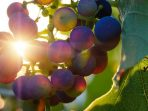 Pada Buah Anggur, Rasakan Manfaat Ini jika Rutin Dikonsumsi
