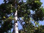 Presiden Jokowi, PM Belanda dan Perihal Pohon Damar yang Menawan