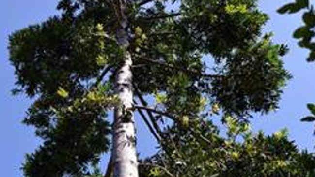 Kayu Damar (Agathis dammara), Flora Asli Indonesia yang Bernilai Ekonomi Tinggi