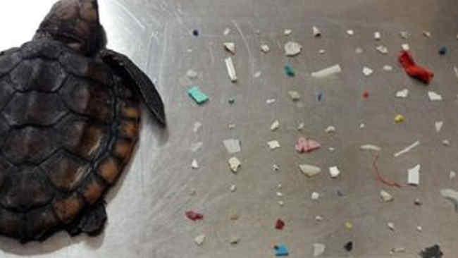 Ratusan Plastik di Perut Antarkan Seekor Penyu pada Kematian