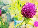 Bunga Kenop, Tanaman Hias yang Kaya Manfaat untuk Kesehatan