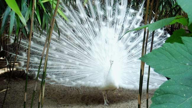 Fakta Tentang Merak Putih Burung Cantik Dengan Ekor Yang Berkilau