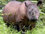 Iman Mati, Spesies Badak Sumatera di Malaysia Berakhir