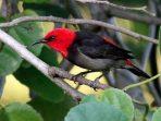 Mengenal Burung Isap Madu Rote, ikon HCPSN 2019