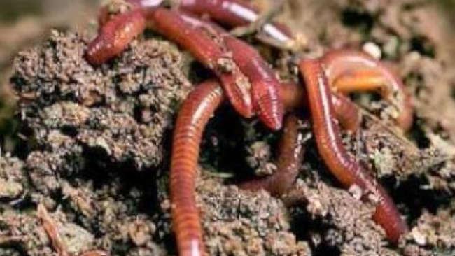 Miris, Kehidupan Cacing Tanah Terancam oleh Mikroplastik