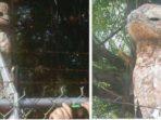 Namanya Burung Potoo, Ia Ahli Menyamar