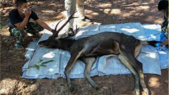 Pakian Dalam Bermukim di Perut Rusa yang Mati di Thailand