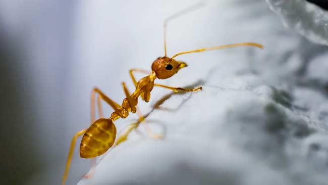 Semut Sering Mengerumuni Makanan Anda? Usir Pakai Cara Ini