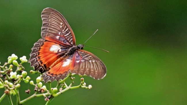 Cethosia myrina, Kupu-kupu Sayap Renda yang Semakin Langka