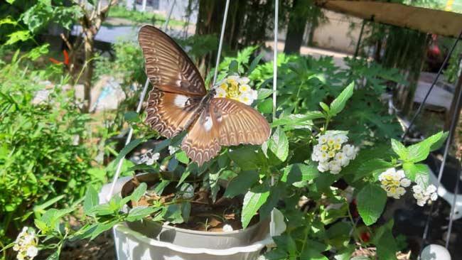 kupu-kupu endemik Sulawesi