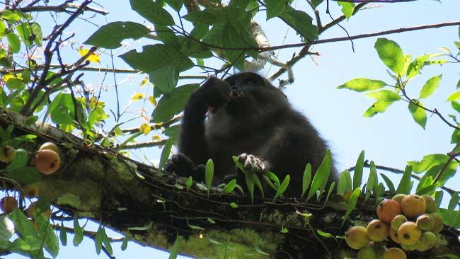Monyet hitam sulawesi, Macaca maura turun ke jalan