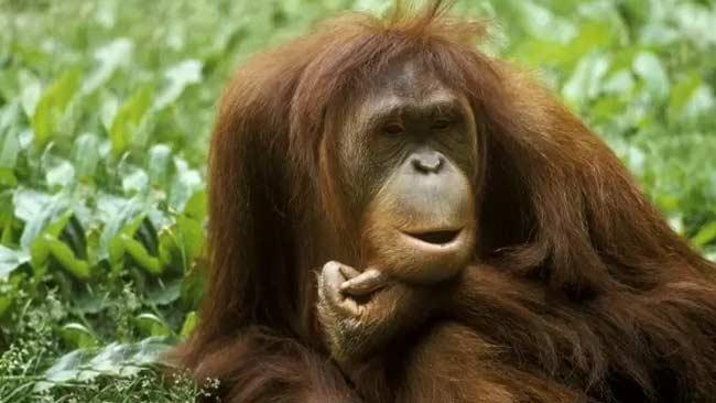 Orangutan di Kalimantan Barat Masih Terancam oleh Degradasi Lahan