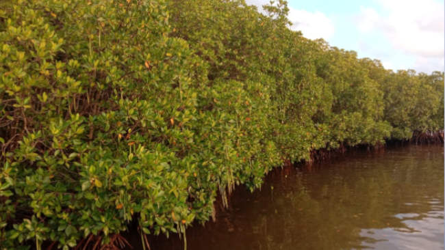 Pelestarian Lingkungan Berada di Tangan Restorasi Mangrove