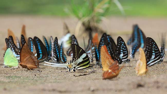 Riuh Kepak Sayap Kupu-kupu Bantimurung yang Berdendang