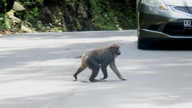 Simpati yang Berpotensi Menjadi Maut Bagi Macaca di Karaenta