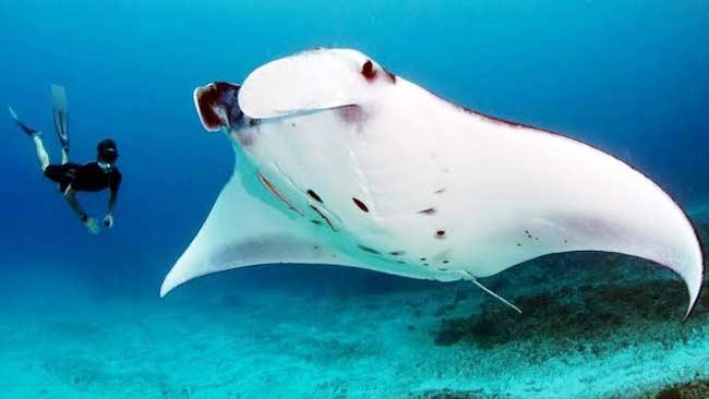 Tentang Pari Manta Spesies Ikan Pari Terbesar Di Dunia Klik Hijau