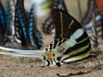 Kupu-kupu ekor sriti