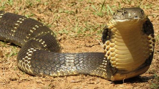 Fenomena Ular Kobra Juga Gegerkan Warga Gowa