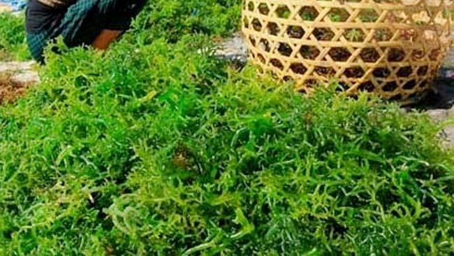 Ingin Cantik? Gunakan Rumput Laut untuk Perawatan Kulit
