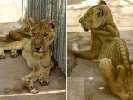 Kisah Singa-Singa di Taman Al-Qureshi Sudan yang Memilukan