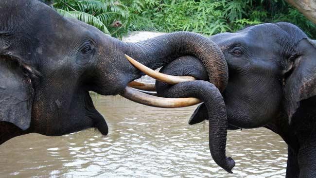 Konflik dengan Warga, Sebab Terbesar Matinya Gajah Sumatera di Aceh