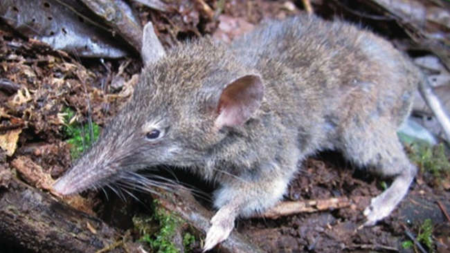 Tak Ada di Tempat Lain, Spesies Tikus Ompong Hanya Ada di Sulawesi